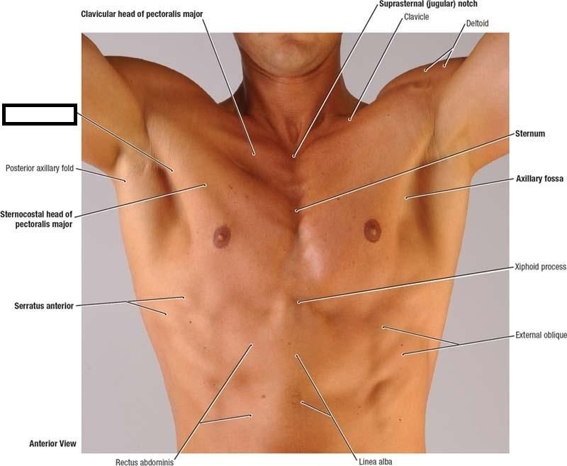 nursingbuddycom-surface-anatomy-of-male-pectoral-region ...