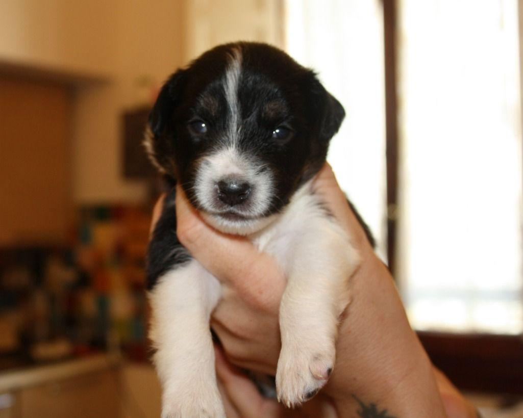 Firenze CUCCIOLI DI 20 GIORNI! TAGLIA MEDIO PICCOLA regalo cuccioli  cani firenze Vai all\u0027annuncio