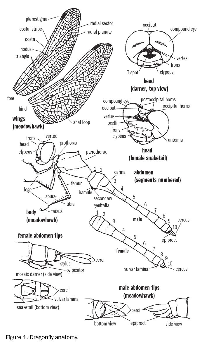Dragonfly Anatomy | Dragonfly Anatomy | Pinterest | Dragonflies ...