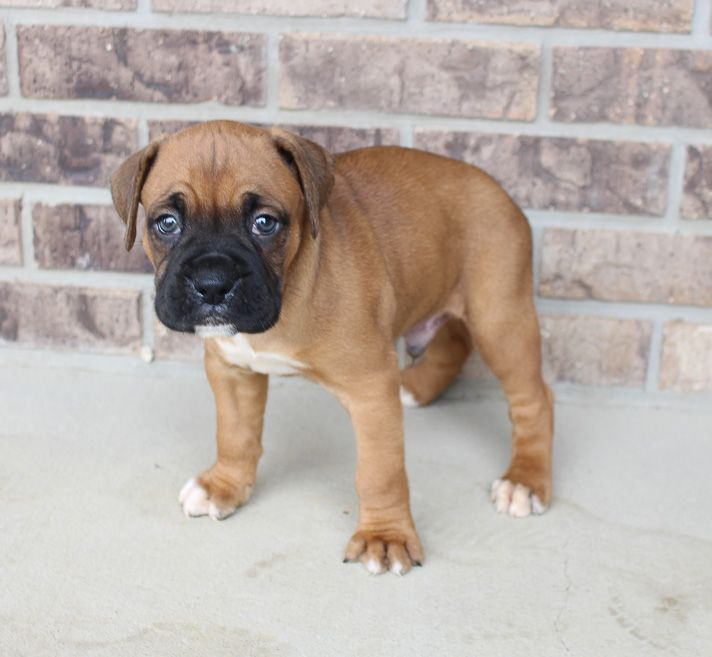 Dax puppy Boxers in Grabill, Indiana Boxer puppies