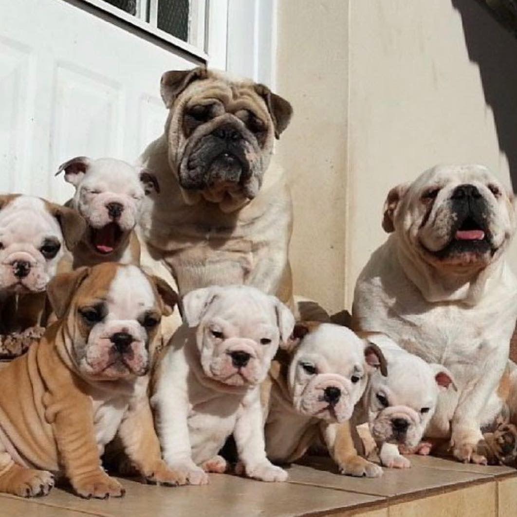 British Edition Dog Nose Balm Bulldog Puppies English Bulldog