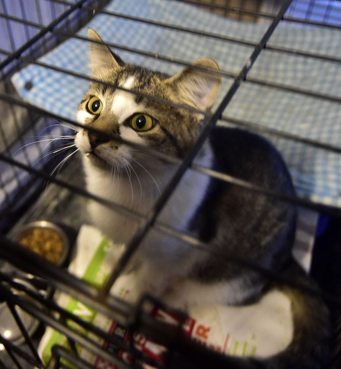 Savy And Indy Needed A Loving Home Savy A Gray And White Cat That Had A Head Injury Was Found Outside On A Stormy N Grey And White Cat Animals Animal