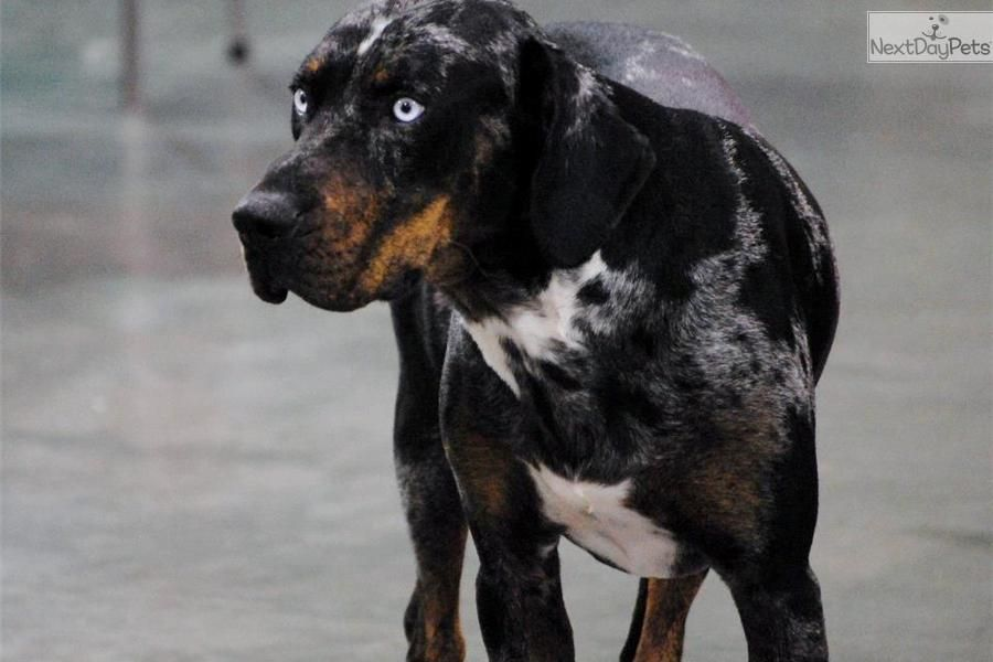 Upcoming Catahoula Leopard Dog Puppies Catahoula Leopard Dog