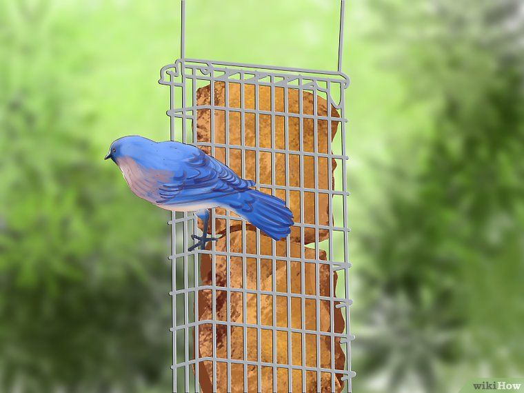 How to make mealworm suet cakes for bluebirds 5 steps