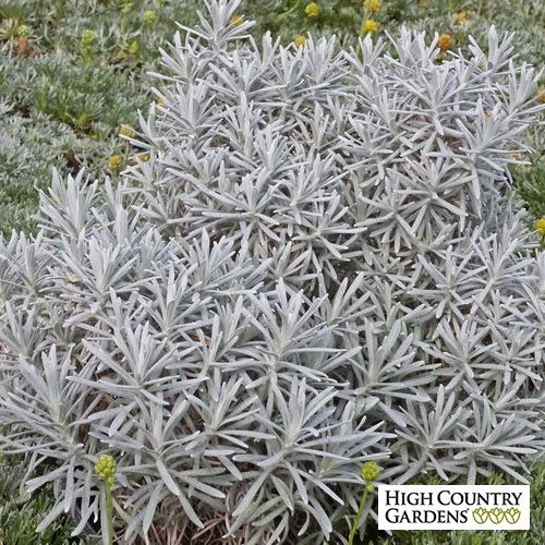 Silver Curry Bush is a small growing evergreen plant from Western ...