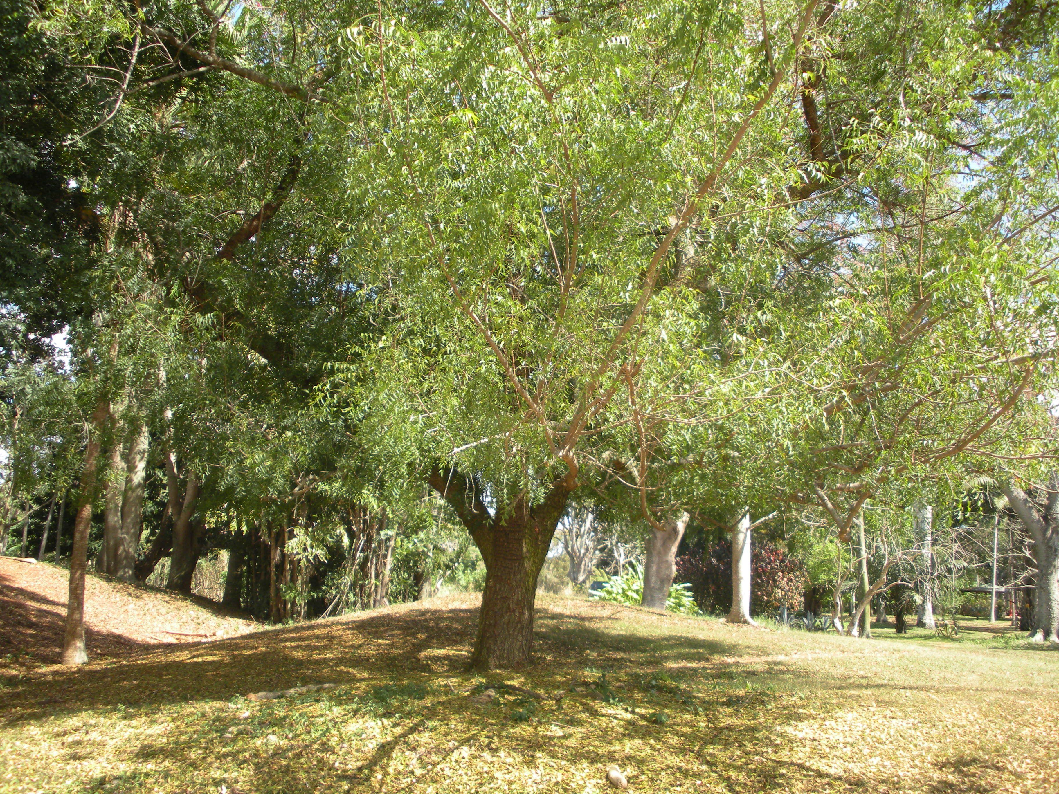 azadirachta indica antelaea azadirachta family meliaceae neem  a neem tree the botanical gardens