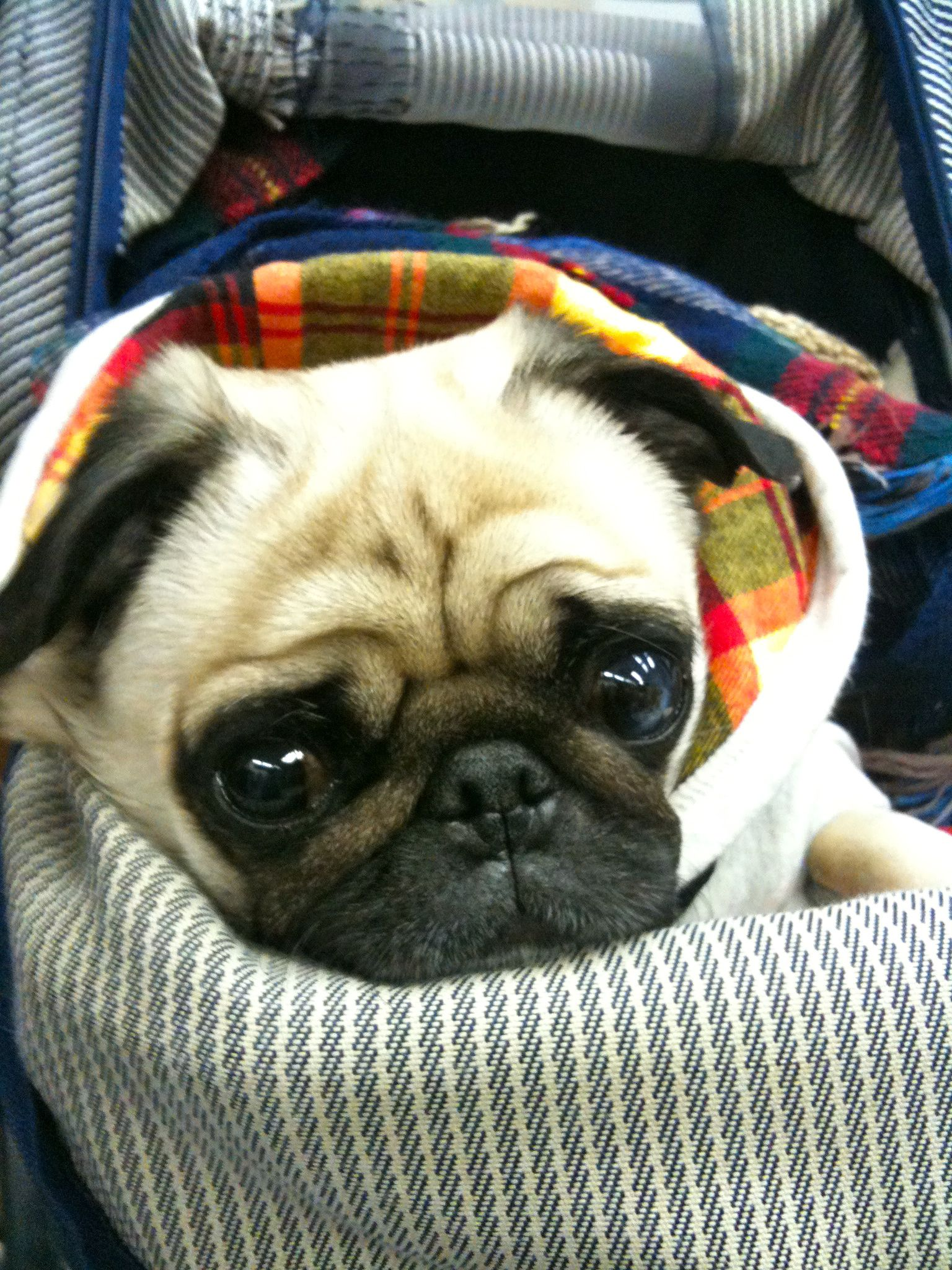 are we leaving yet??? #Cheeze | Cute Dogs | Pugs, Cute ...