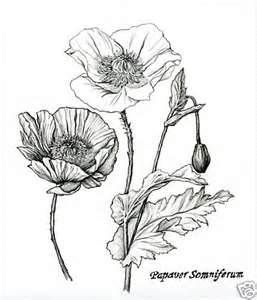 Pencil Flower Drawings Of Poppy And Ginger Nutmeg Plants Pencil Drawings Of Flowers Flower Drawing Poppy Drawing