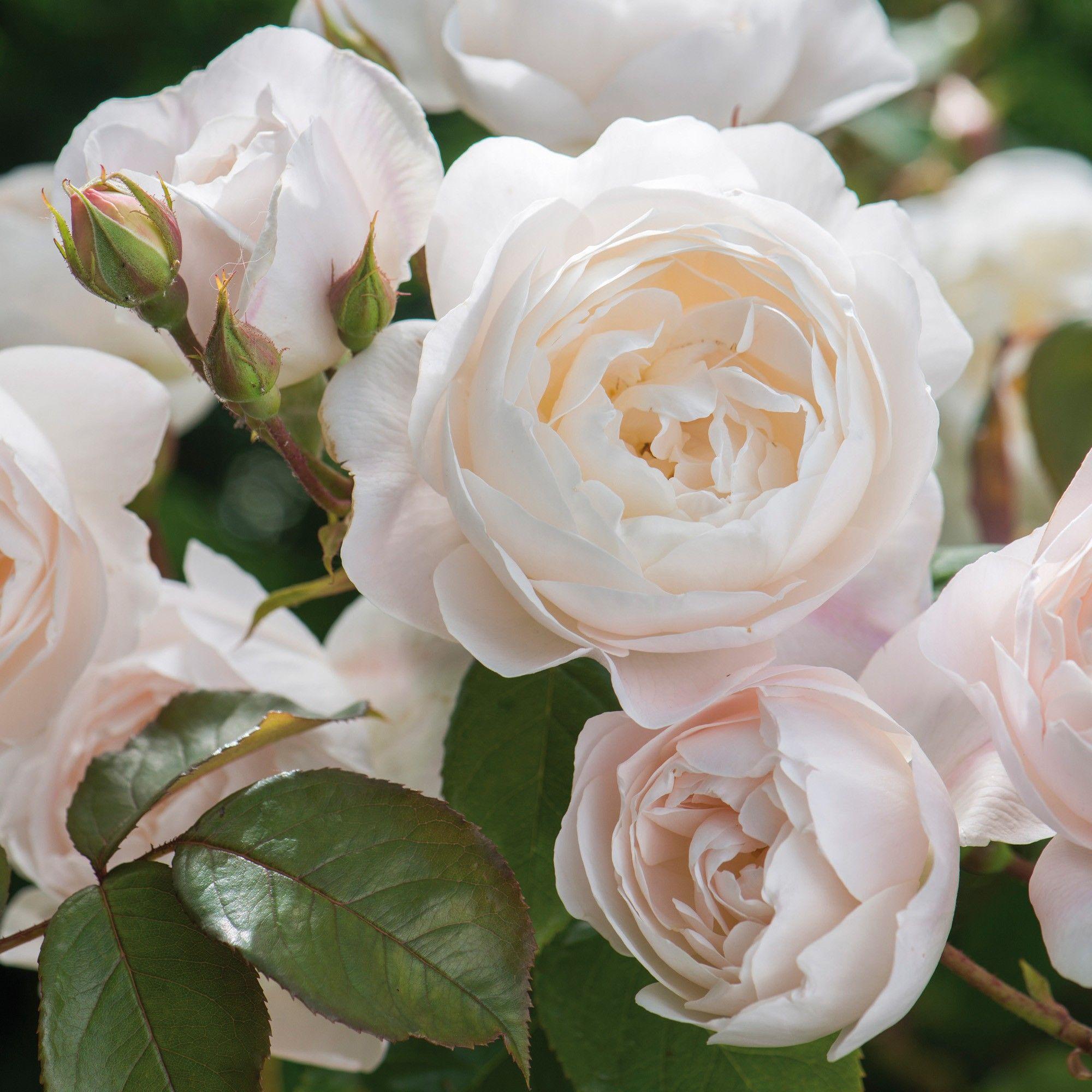 Desdemona..English Rose bred by David Austin