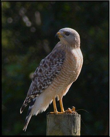 Redshoulder Hawk at Viera