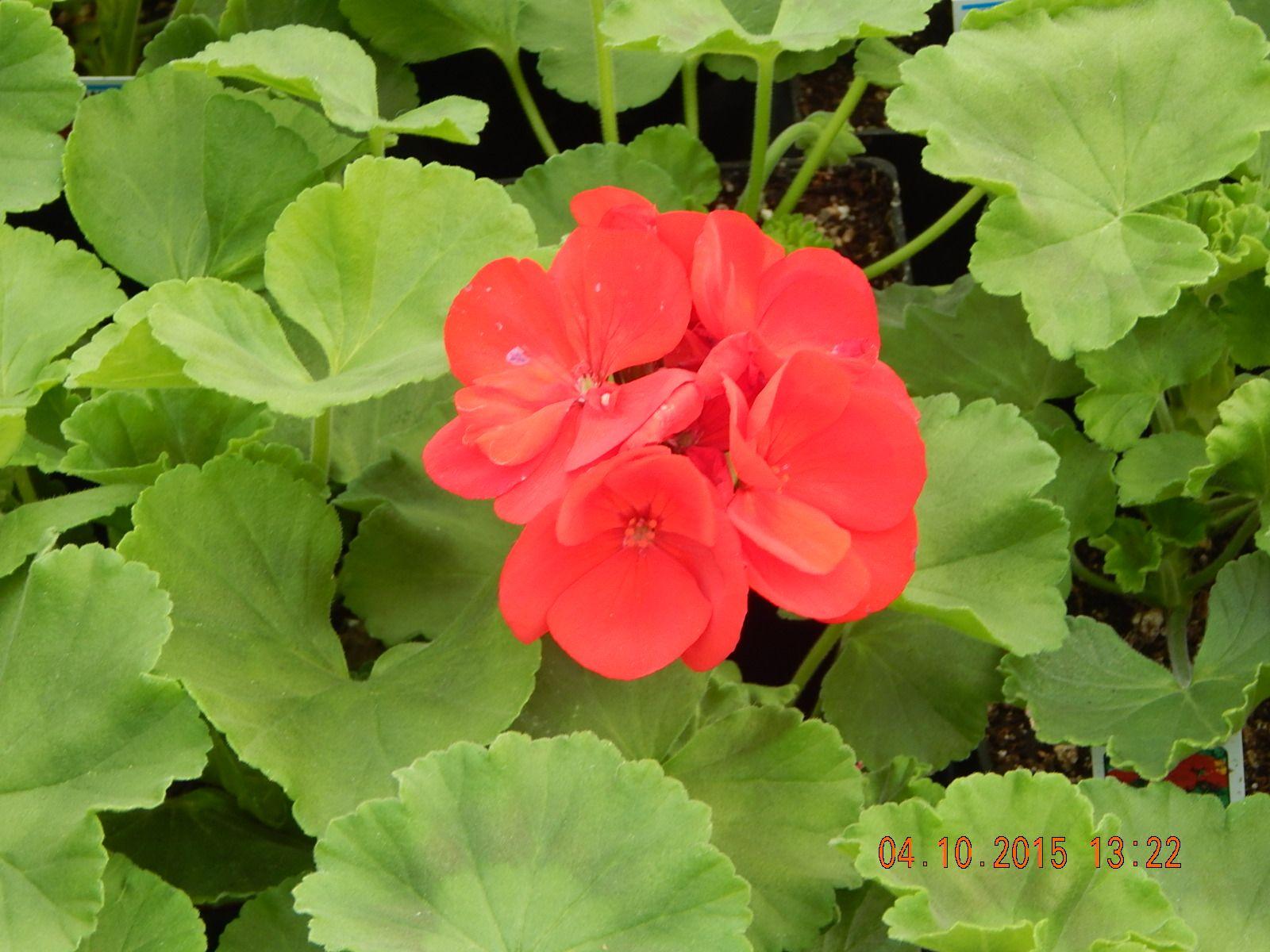 Americana Dark Red Geranium Our Plants Annuals Pinterest Red
