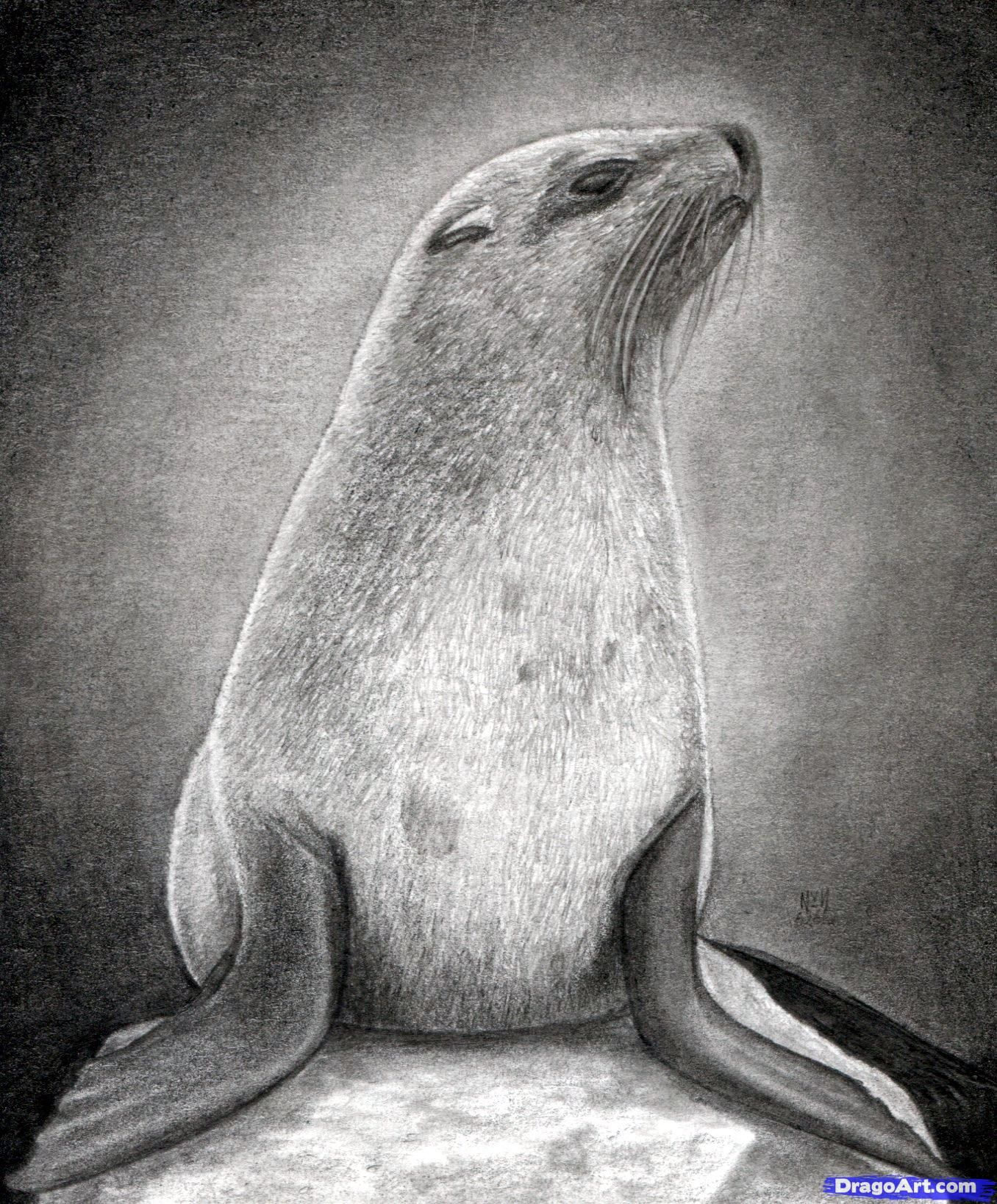 How to Draw a Realistic Seal, Cape Fur Seal Animal