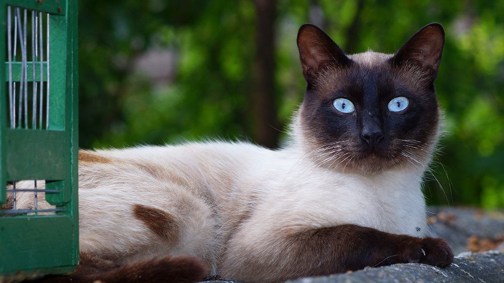 Siamese Cats The Ultimate Guide To Their History Types