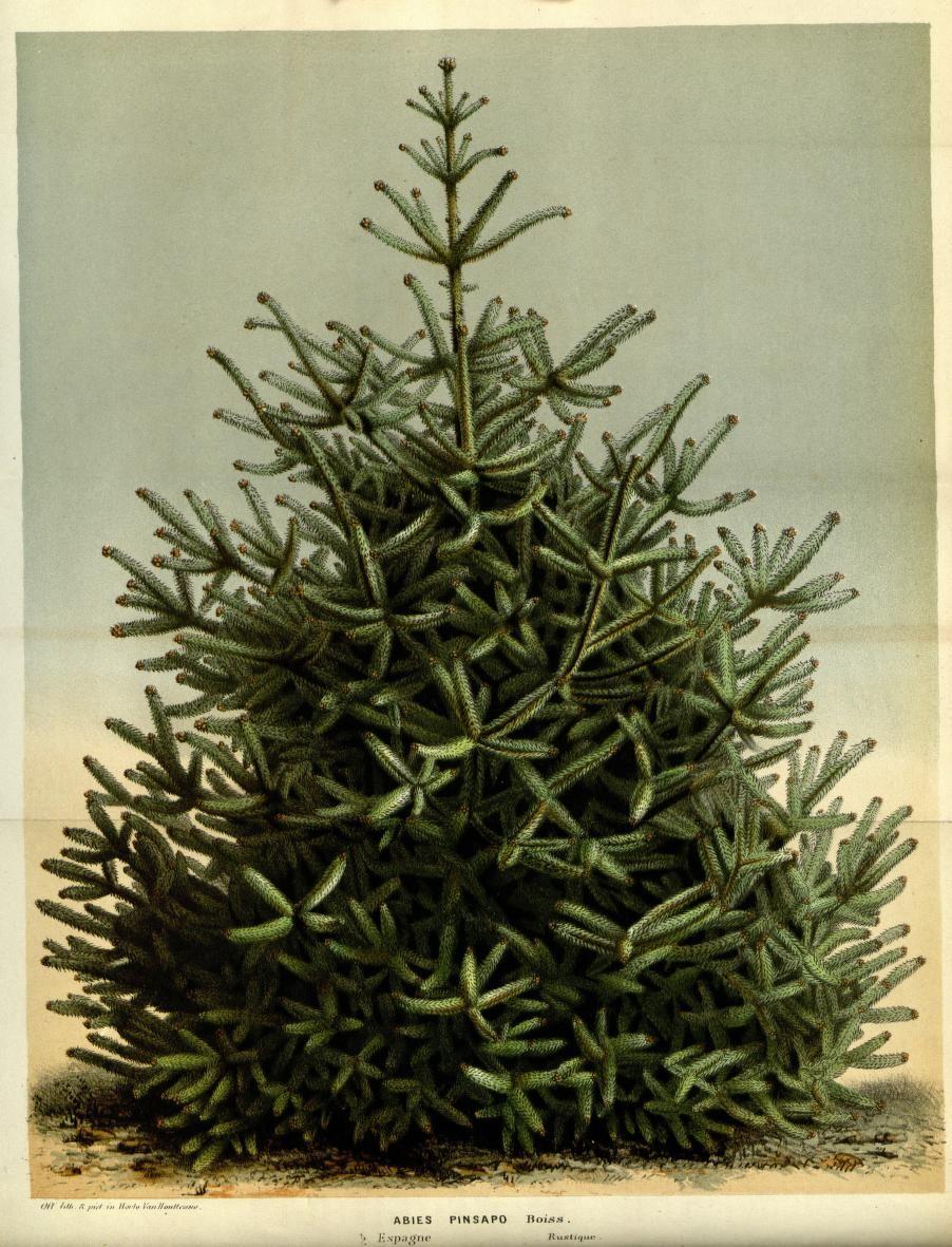 V 14 1861 Flore Des Serres Et Des Jardins De L Europe Biodiversity Heritage Library Christmas Tree Design Tree Designs Christmas Tree Printable