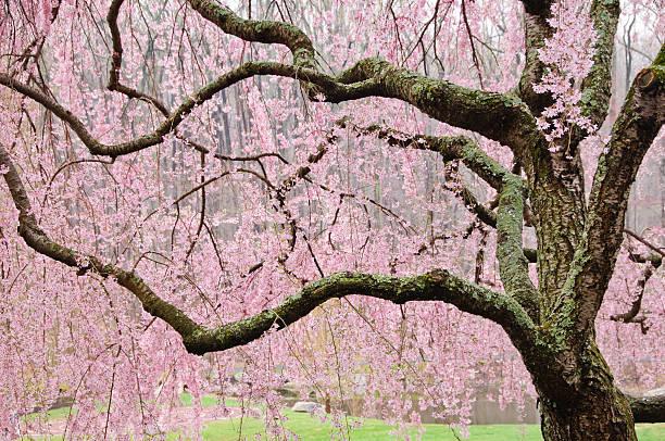 Tibetan Cherry Prunus Serrula Blossom Trees Black Cherry Tree Cherry Blossom Tree