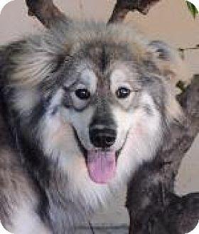 Cool Alaskan Malamute Chubby Adorable Dog - 3a18018716c40e933ec3531ae67c9462  Snapshot_595755  .jpg
