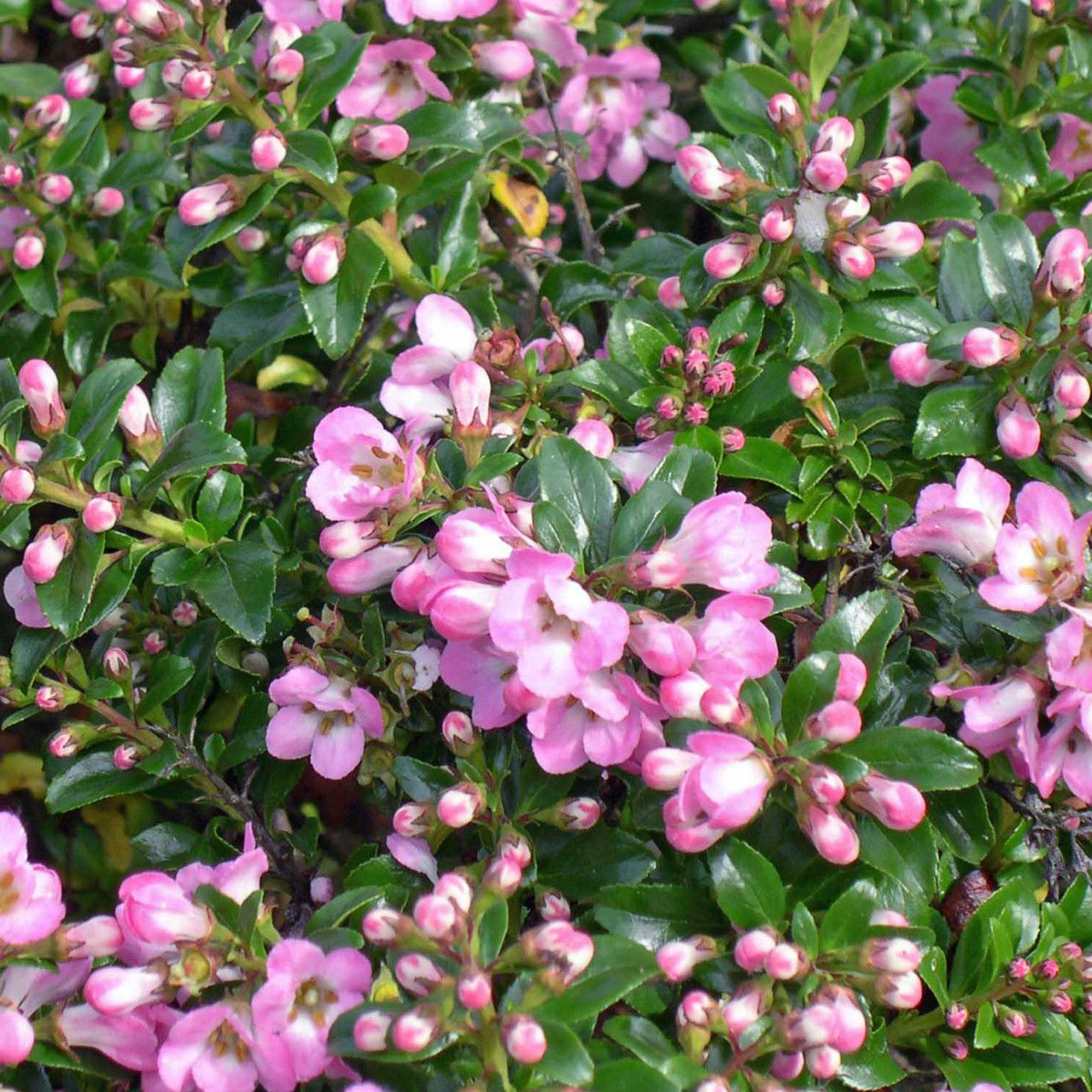 Escallonia apple blossom bushes and shrubs pinterest escallonia apple blossom this is smaller than other varieties of escallonia and has masses of apple blossom pink flowers in summer dhlflorist Gallery