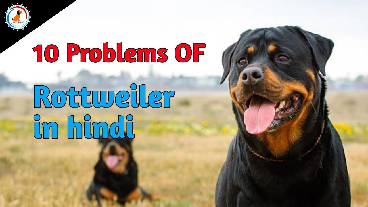 10 Problems Of Rottweiler In Hindi Problems Of Dogs Rottweiler
