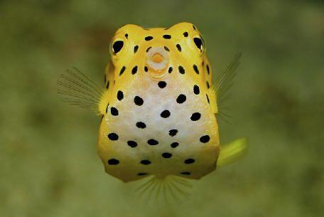 A Yellow Boxfish Is Hands Down The Cutest Thing I Ve Ever Seen Snorkeling Aquario De Agua Salgada Vida Marinha Peixes