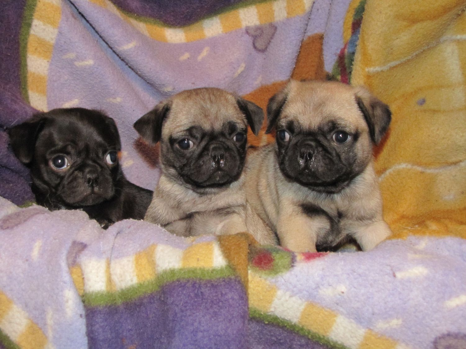 Beautiful Baby Pugs Chugs Bugs Home Raised With Images Baby