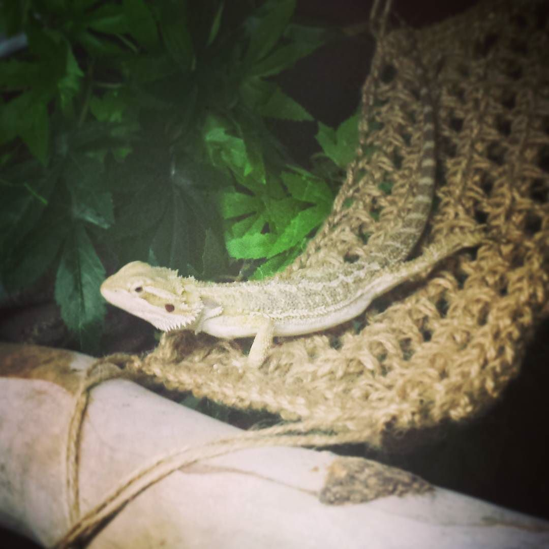 my latest crochet project for the newest member of the family  a hammock for kevin the bearded dragon by my latest crochet project for the newest member of the family      rh   pinterest