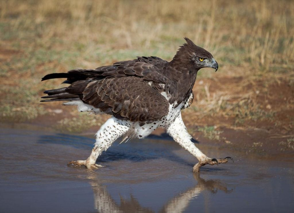 The Martial Eagle (Polemaetus bellicosus) is a large eagle ...