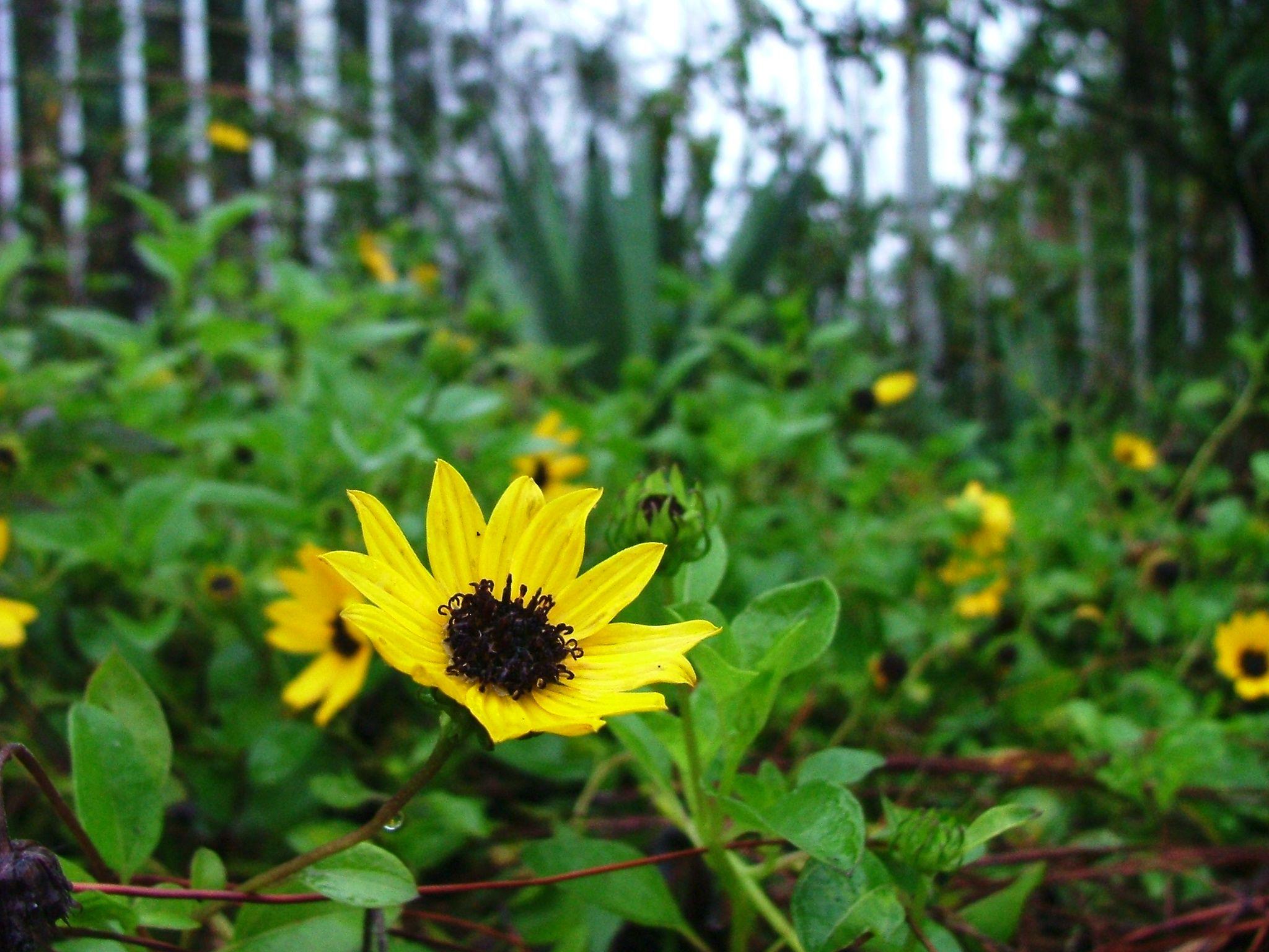 beach sunflower  florida native plants