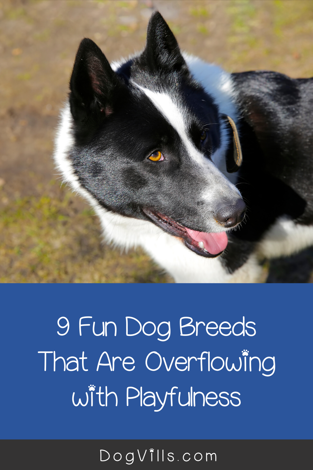 9 Fun Dog Breeds That Are Overflowing With Playfulness Dogvills In 2020 Dog Breeds Best Dogs Dogs