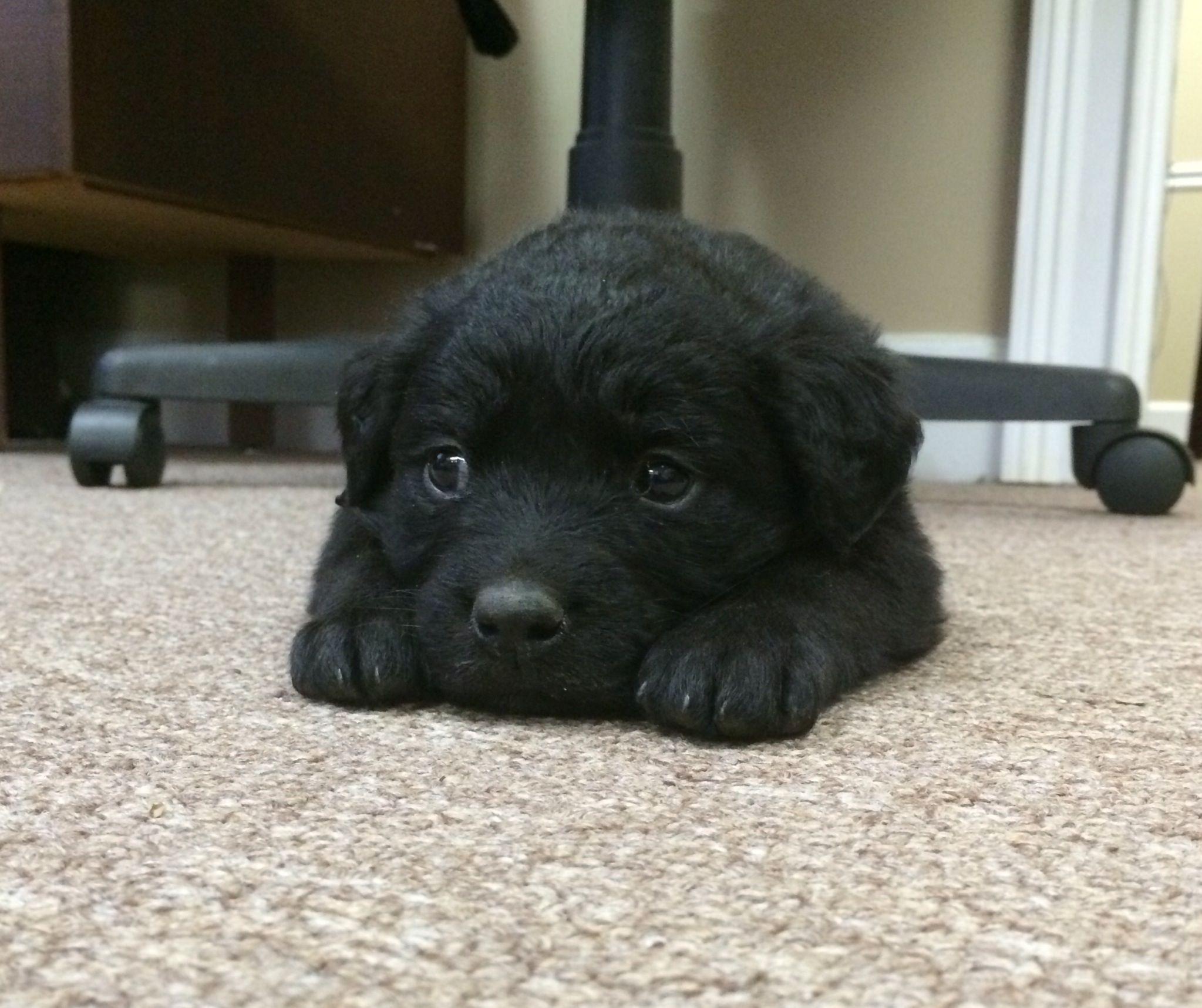 Black Lab Golden Retriever Puppy Puppy Time Black Golden