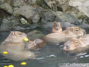 いい湯だな ハハン 温泉 好きな僕たち 動物 に 会いにきてね Naver まとめ Animals Capybara Polar Bear