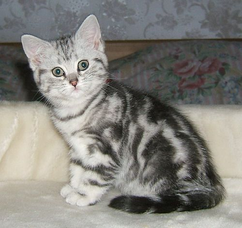 Pin By Diane Nees On It S So Fluffy Striped Cat Cute Puppies And Kittens Grey Kitten