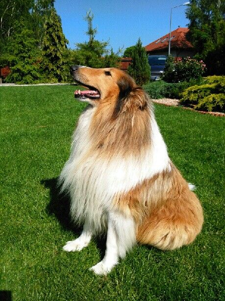 Collie Giving The Best Pose Rough Collie Scotch Collie Collie Dog