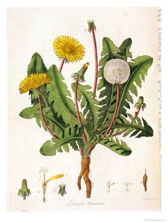 Dandelionbotanical In 2020 Dandelion Painting Dandelion Color Botanical Illustration