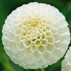 Snowflake 1m Tall Back Of Border Pom Pom Dahlia Dahlia Flower Herbaceous Perennials