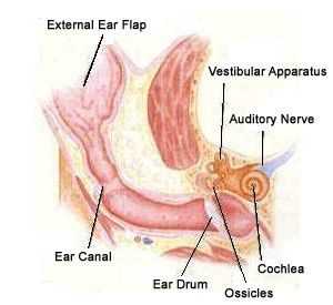 anatomy pic of dogs ears