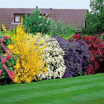5 smukke buske du kan plante - Buddiea (pink), forsythia spectabilis (gul), spirea arguta (hvid), ceanothus yankee point (blå), og weigelia (bordeaux)