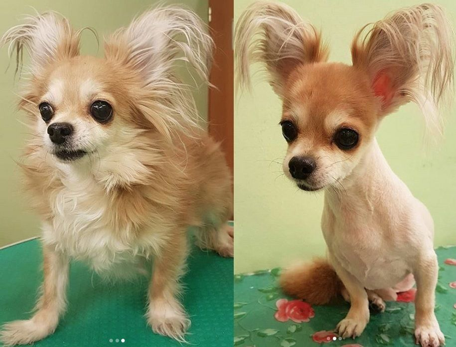 10 Best Long Haired Chihuahua Haircuts Page 2 Of 5 The Paws Cute Chihuahua Chihuahua Puppies Chihuahua