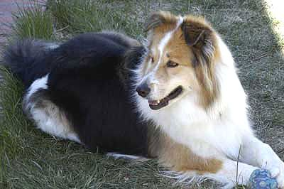 Australian Shepherd Border Collie Mixed Breed Dog Collie Mix