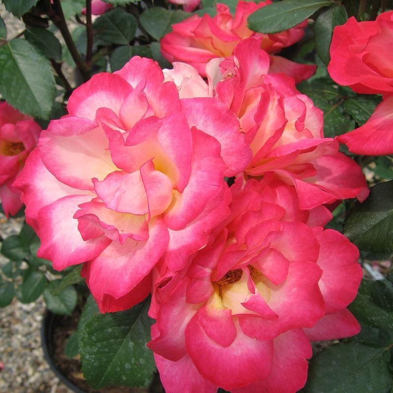 Plant Rose Floribunda Rainbow Sorbet Plants Floribunda Roses Rose