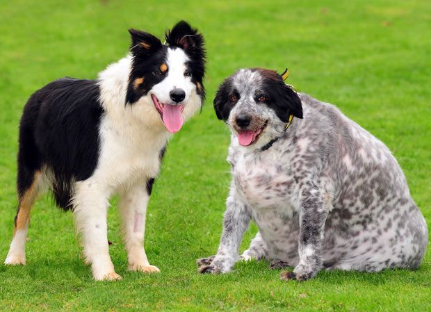 Get The Skinny On Puppy Nutrition At Prolabspets Com And Help Your Pup Avoid Obesity Prolabspets Dogs Border Collie Collie