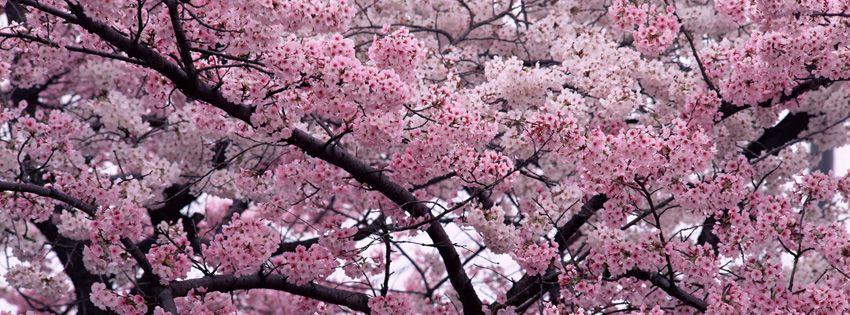 Cherry Blossoms Cherry Blossom Tree Flower Landscape Blossom Trees
