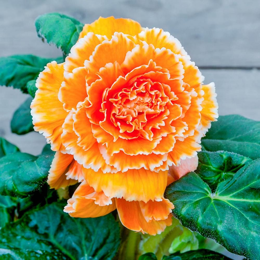 Breck S Apricot Flowers Lace Apricot Begonia Bulbs 2 Pack Flowers Begonia Bulb