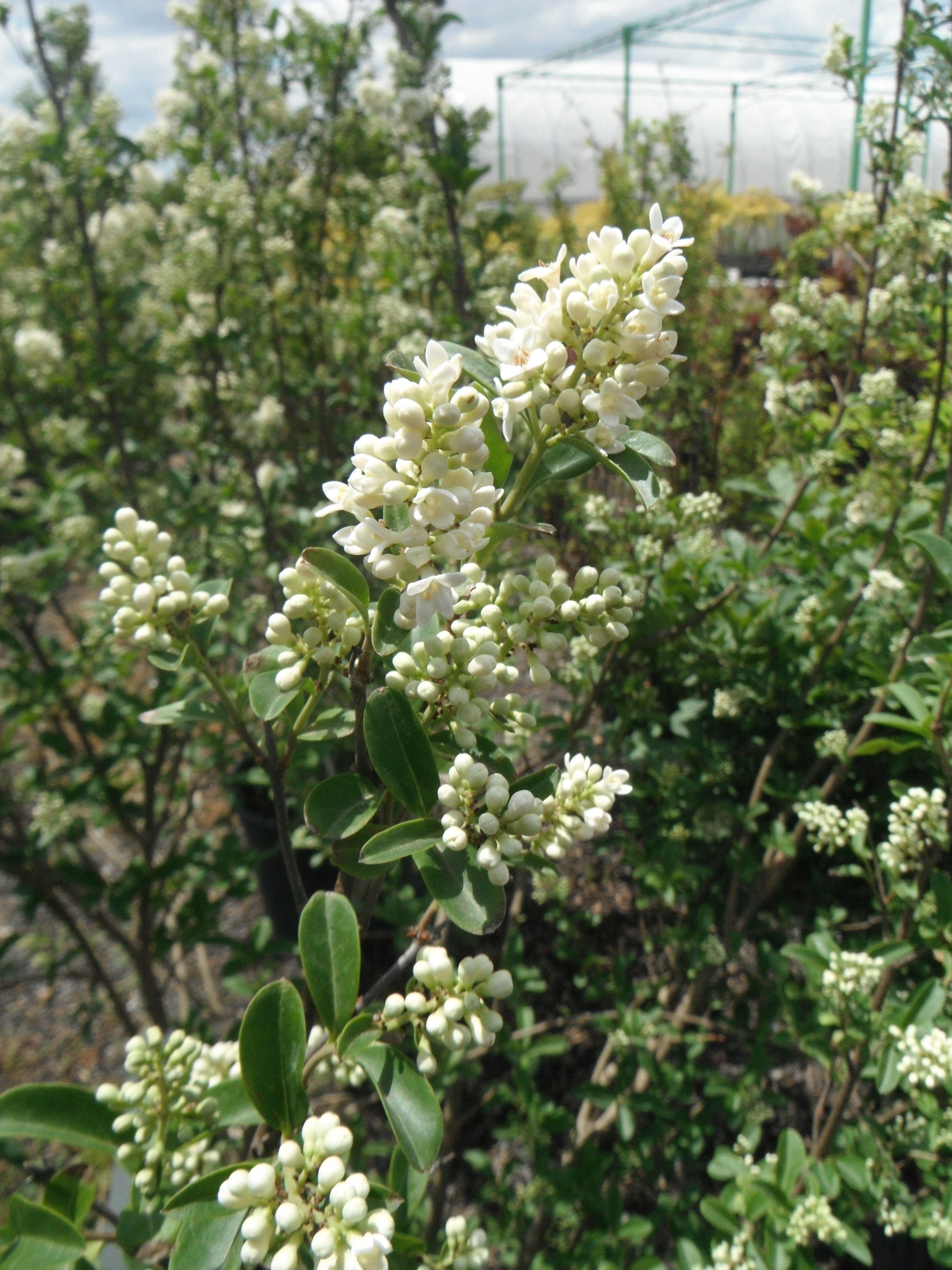 Privet Blossoms Oakville ontario, Plants, Garden