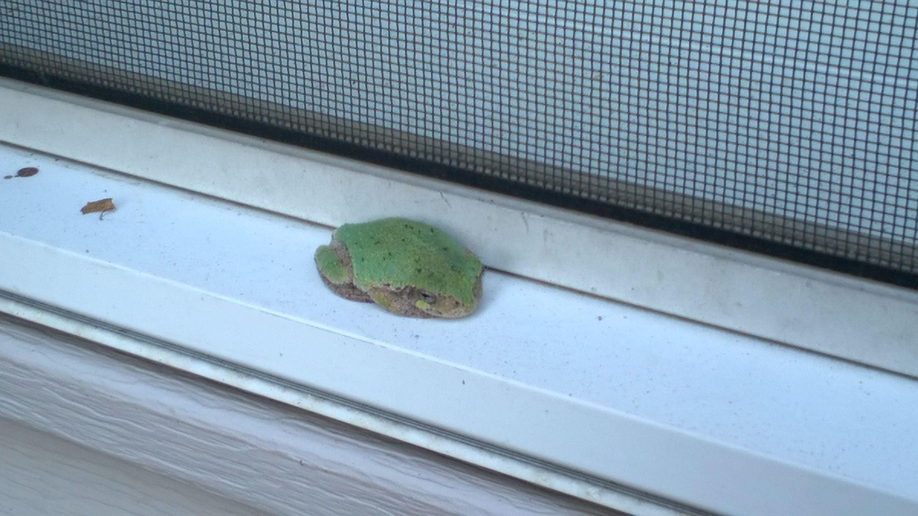 #Greytreefrog