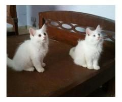 Persian Kittens White Color Soft Hair Available For Sale In Islamabad Persian Kittens Kittens Pet 1