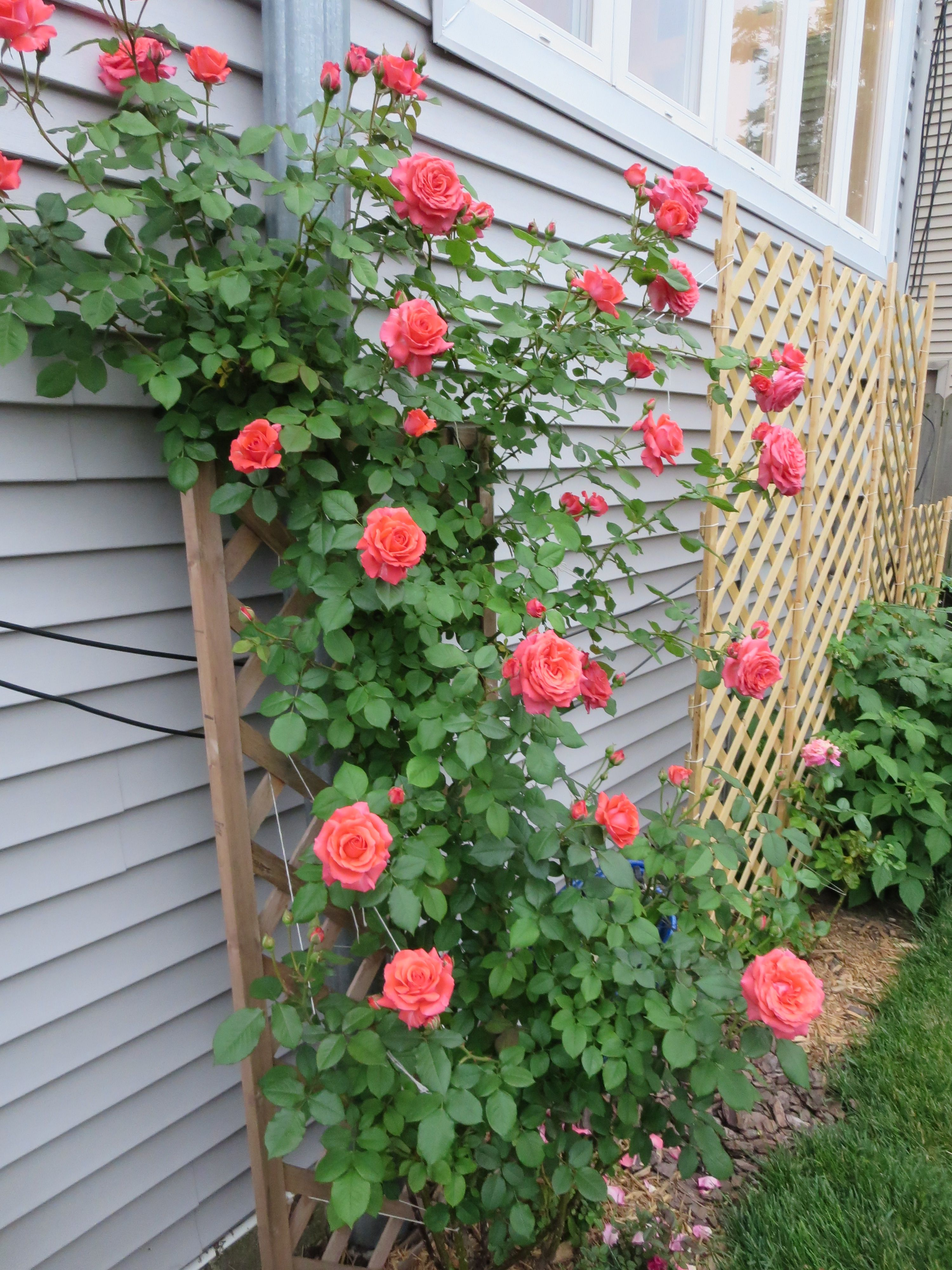 The C I America Climbing Rose Bush In Full Glory I Can See It From Right Under My Window Climbing Roses