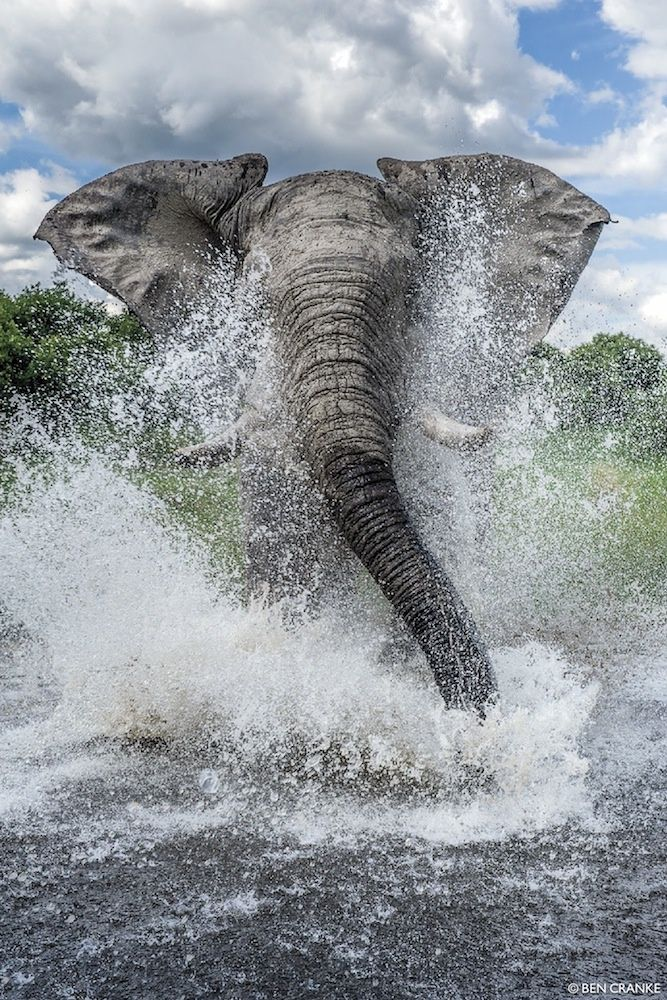 African Elephant charging in Chobe National Park, Botswana. Photograph: Ben Cranke.