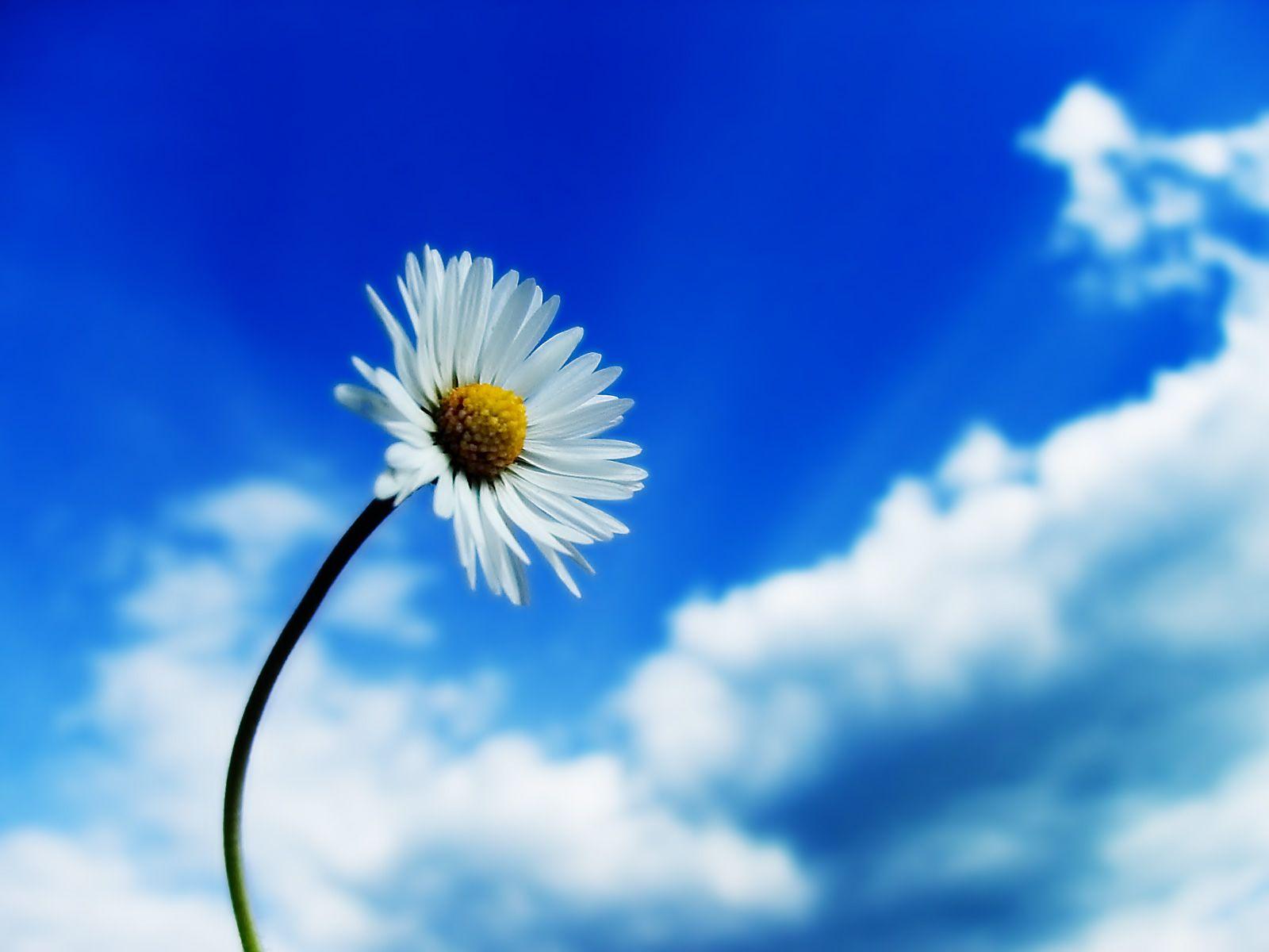 White Daisy Flower   White+Daisy+Flower+Wallpaper.jpg