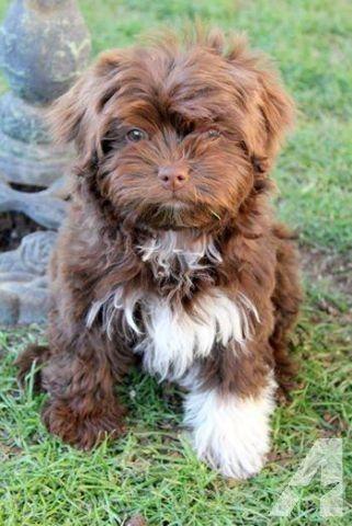 Ch Sired Russian Tsvetnaya Bolonkas Toy Rare Breed Pups Havanese Havanese Puppies Havanese Dogs