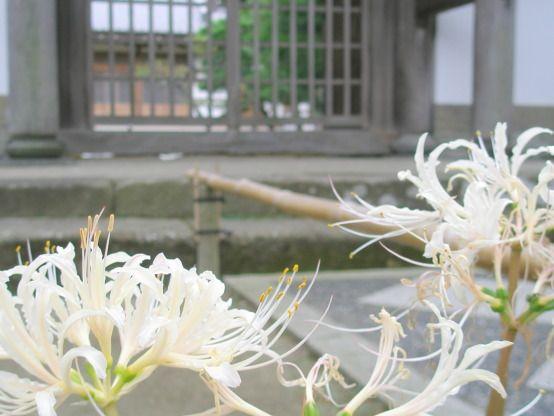 白色のヒガンバナの花
